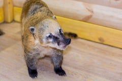 Tvättbjörn-näsa n en zoo royaltyfri fotografi