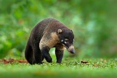Tvättbjörn Procyonlotor, på trädet i nationalparken Manuel Antonio, Costa Rica Djur i skogtvättbjörnen med den långa svansen mam arkivfoton