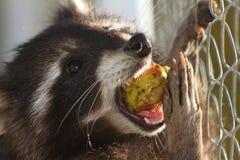 Tvättbjörn som äter äpplet Arkivbild
