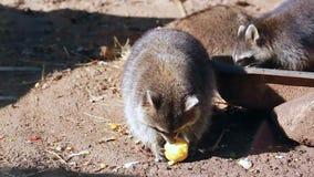 Tvättbjörn som äter äpplet arkivfilmer