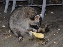 Tvättbjörn som äter ett öra av havre Royaltyfria Foton