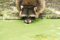 Tvättbjörn som dricker från ett damm Arkivbild