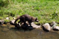 Tvättbjörn som går på sjön Royaltyfri Bild