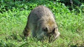 Tvättbjörn som gräver till och med gräs för mat stock video