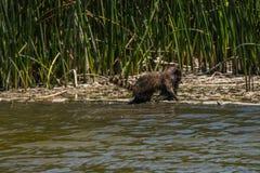 Tvättbjörn som hämtar fisken från vatten arkivbilder