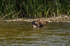 Tvättbjörn som hämtar fisken från vatten royaltyfri foto
