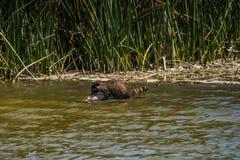 Tvättbjörn som hämtar fisken från vatten arkivfoto