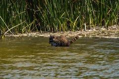 Tvättbjörn som hämtar fisken från vatten fotografering för bildbyråer