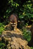Tvättbjörn som promenerar trädstammen fotografering för bildbyråer