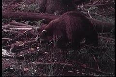 Tvättbjörn som söker efter föda för mat i vildmarken stock video