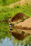Tvättbjörn som ser hans vattenreflexion Fotografering för Bildbyråer