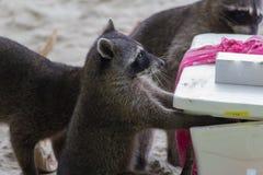 Tvättbjörn som stjäler mat Fotografering för Bildbyråer