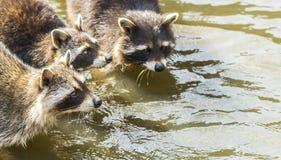 Tvättbjörnar i vattnet Arkivfoto