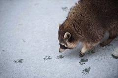 Tvättbjörnen på den snöig isen sniffar till spåren av en annan tvättbjörn Mycket lågt djup av fältet - precis är en näsa och ögon Fotografering för Bildbyråer