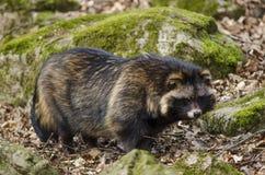 Tvättbjörnhund, Nyctereutesprocyonoides Fotografering för Bildbyråer