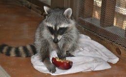 Tvättbjörnsats som äter ett äpple Royaltyfria Bilder