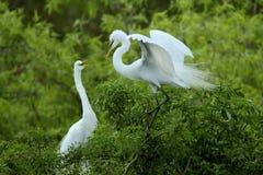 Två ägretthäger hälsar sig på en råkkoloni i Florida Arkivfoto