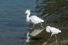 Två ägretthäger som promenerar shorelinen i grunt vatten Fotografering för Bildbyråer