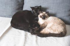 Två älskvärda katter som tillsammans vilar Arkivfoto