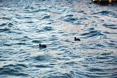 Två änder i sjön Royaltyfri Bild