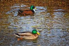 Två änder med skinande ljusa fjädrar som svävar på vinterfloden Arkivfoton