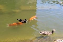Två änder och fisk två royaltyfria foton