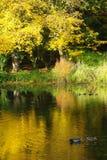 Två änder på det guld- dammet Royaltyfria Foton