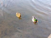 Två änder på sjön royaltyfria bilder