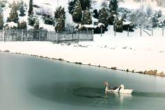Två änder som simmar i en djupfryst sjö Royaltyfria Bilder