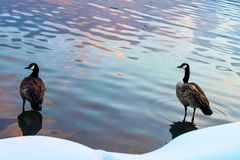 Två änder som står i vattnet med reflexioner av solnedgången bredvid en snöig kust arkivbilder