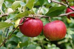 Två äpplen arkivfoton