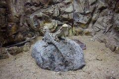 Två ödlor sitter på stenen Arkivfoton