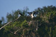 Två örnar, ett flyg ut ur dess rede och annat som vilar på en trädfilial royaltyfri fotografi