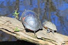 Två östliga målade sköldpaddor på en journal Arkivfoto