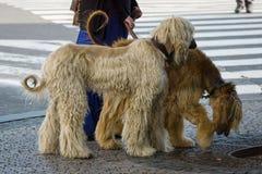 Två afghanska hundar royaltyfri fotografi