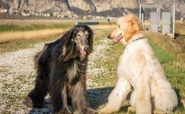 Två afghanska hundar Stående Den afghanska hunden är en hund som är distingerad vid dess tjocka, fina silkeslena lag Aveln var va royaltyfri fotografi