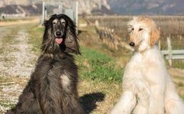 Två afghanska hundar Stående Den afghanska hunden är en hund som är distingerad vid dess tjocka, fina silkeslena lag Aveln var va Royaltyfria Bilder