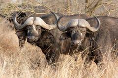 Två afrikanska bufflar Arkivfoton
