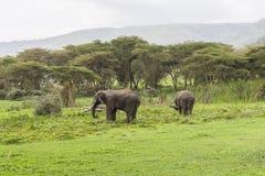Två afrikanska elefanter Arkivfoto
