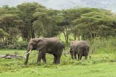 Två afrikanska elefanter Royaltyfria Bilder