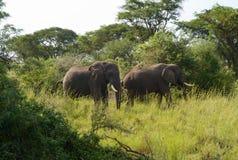 Två afrikanska elefanter med beten royaltyfria foton