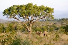 Två afrikanska elefanter under ett stort baobabträd fotografering för bildbyråer