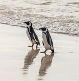 Två afrikanska pingvin på en sandig strand Stad för Simon ` s Stenblockstrand africa near berömda kanonkopberg den pittoreska söd royaltyfria foton