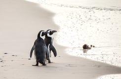 Två afrikanska pingvin på en sandig strand Stad för Simon ` s Stenblockstrand africa near berömda kanonkopberg den pittoreska söd royaltyfria bilder