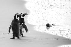 Två afrikanska pingvin på en sandig strand Stad för Simon ` s Stenblockstrand africa near berömda kanonkopberg den pittoreska söd royaltyfri fotografi