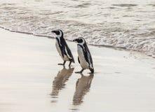 Två afrikanska pingvin på en sandig strand Stad för Simon ` s Stenblockstrand africa near berömda kanonkopberg den pittoreska söd arkivfoto