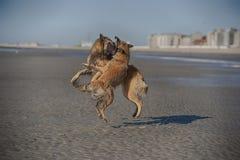 Två aggressiva hundkapplöpning som slåss på en strand royaltyfria bilder