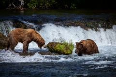 Två alaskabo brunbjörnar på bäcknedgångar, Katmai nationalpark arkivfoton