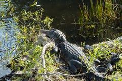 Två alligatorer på Evergladesnationalparken Royaltyfria Bilder