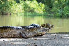 Två alligatorer som ser kameran Arkivfoto